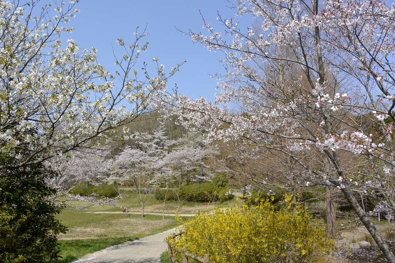 _DSC9921近所の桜