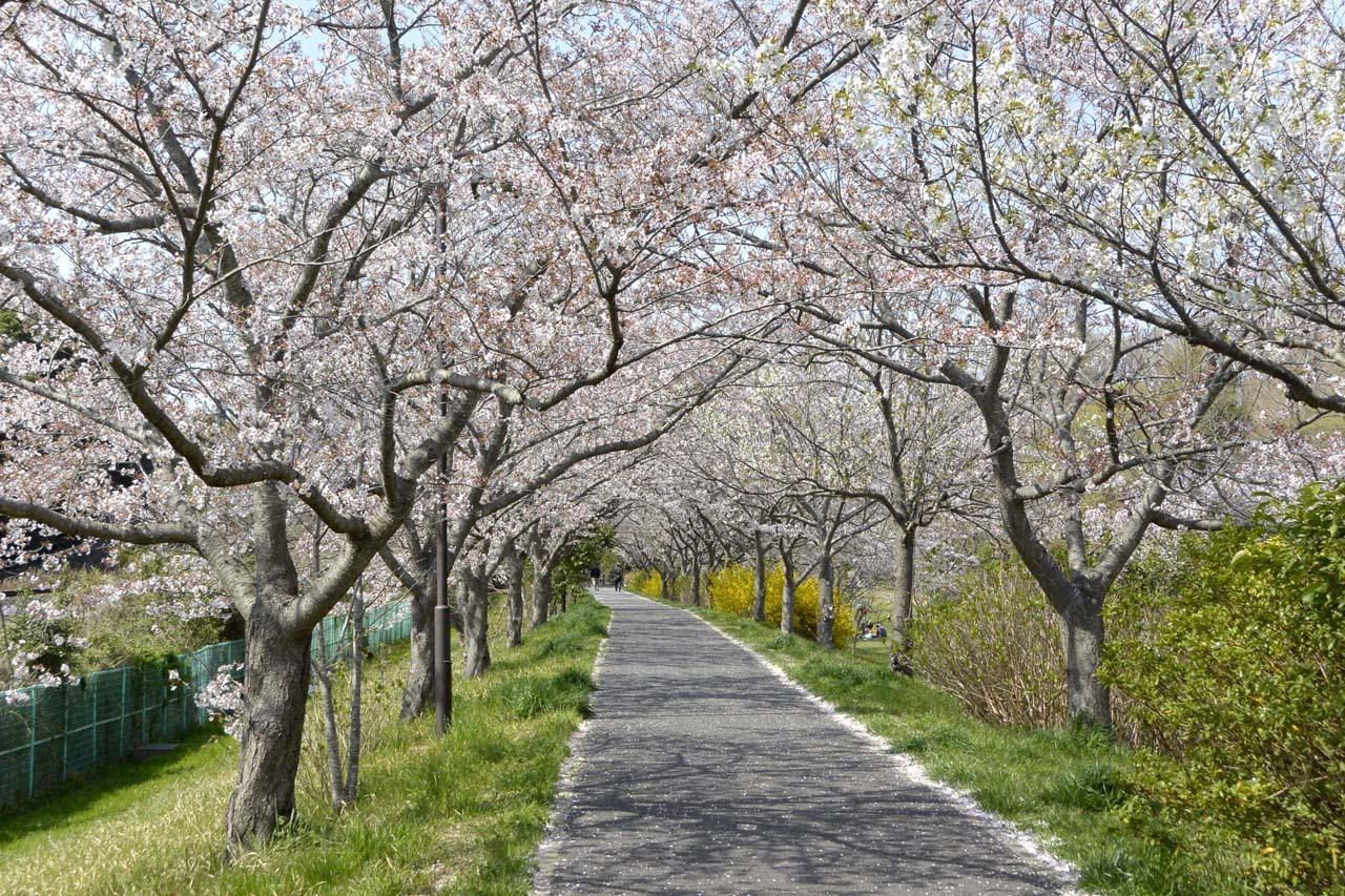 _DSC9919近所の桜