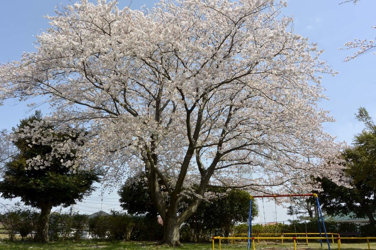 _DSC9858近所の桜