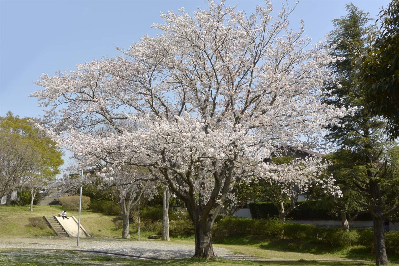 _DSC9865近所の桜