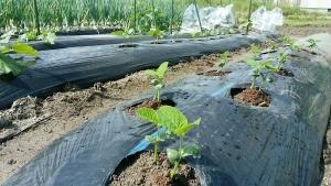 植え付けた枝豆