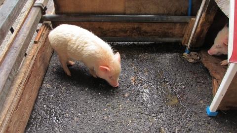子豚が可愛い!