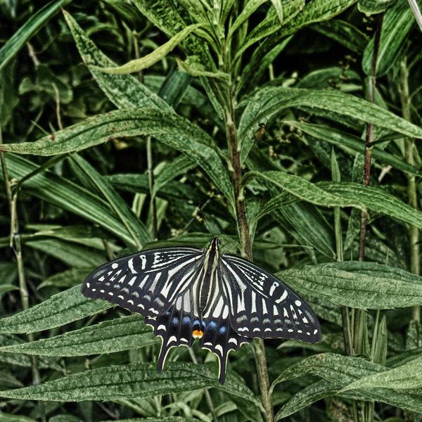 Papilioninae.jpg