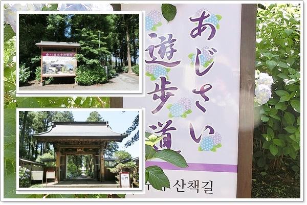 日本寺のあじさい1