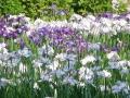 春日池菖蒲2