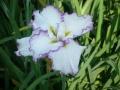 春日池菖蒲3
