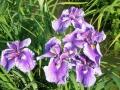 春日池菖蒲菖蒲1