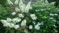 20180605白い花