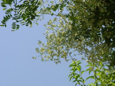 R0037056エンジュの花が満開_400