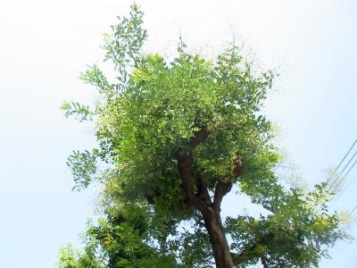 R0037055エンジュの木が満開_400