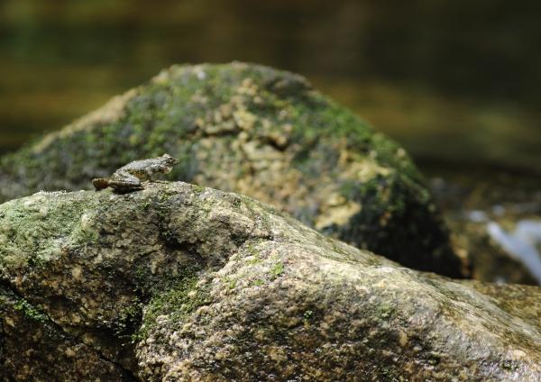カジカガエル