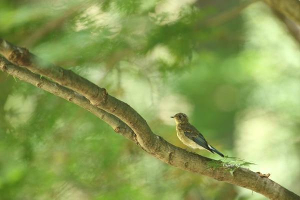 オオルリ幼鳥