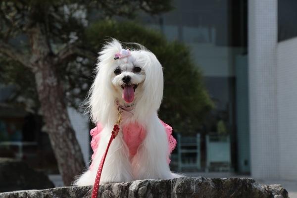 2018.04.15 関西マルチーズクラブオフ会inビワドッグ⑤-13