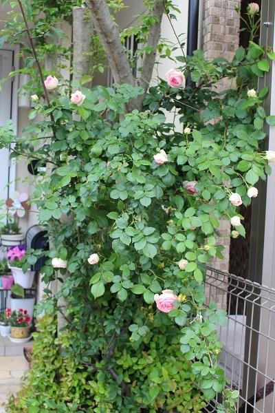 2018.05.22 薔薇便り-1