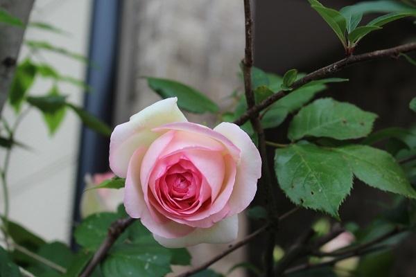 2018.05.22 薔薇便り-2