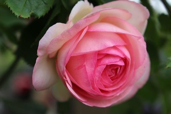 2018.05.22 薔薇便り-3