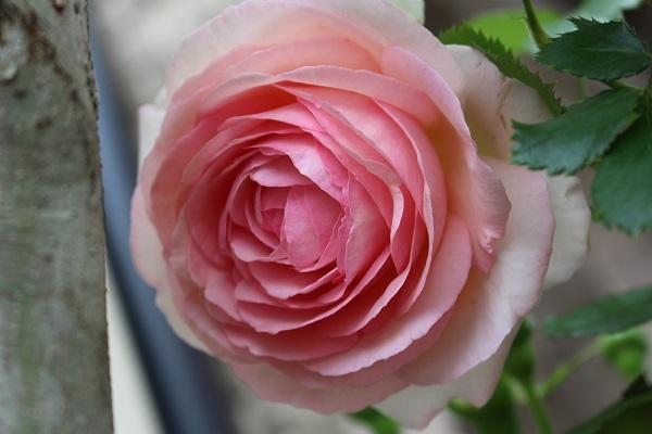 2018.05.22 薔薇便り-4