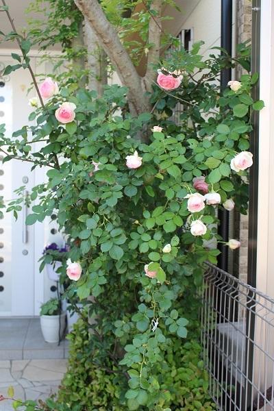 2018.05.22 薔薇便り-5