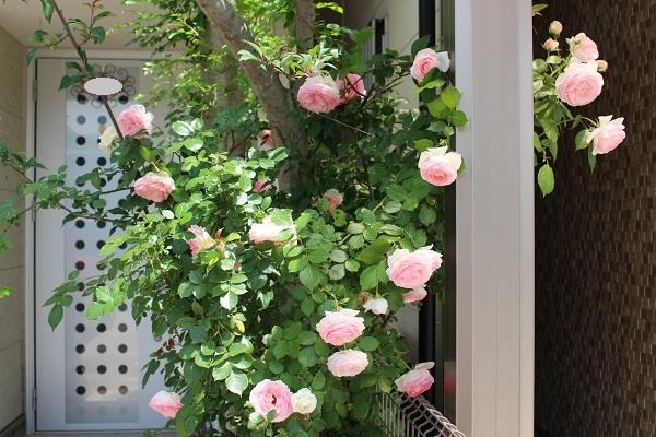 2018.05.22 薔薇便り-9