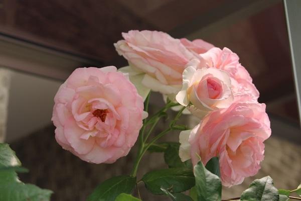 2018.05.22 薔薇便り-15