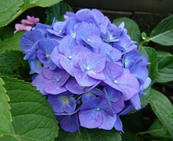 スタンダード紫陽花 350