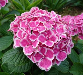縁白紫陽花 350