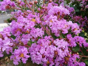 紫花 350