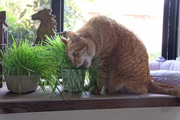 aIMG_6673福助猫草を食べる