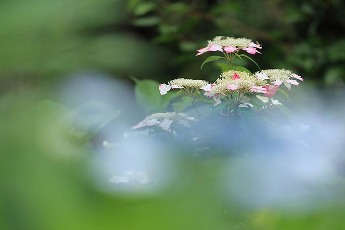 馬見丘陵公園 紫陽花5