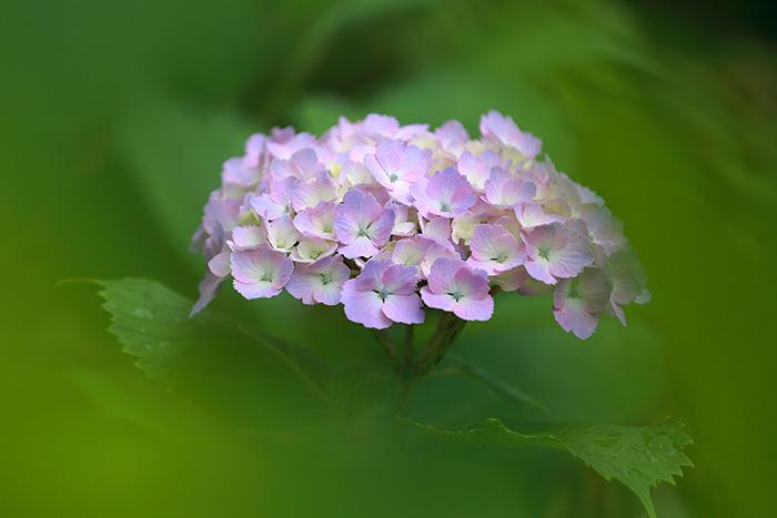 馬見丘陵公園 紫陽花3