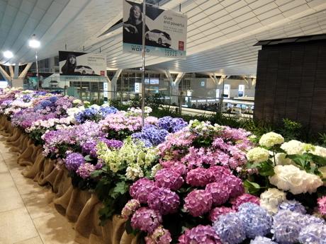 ブルネイクアラ001羽田空港アジサイ