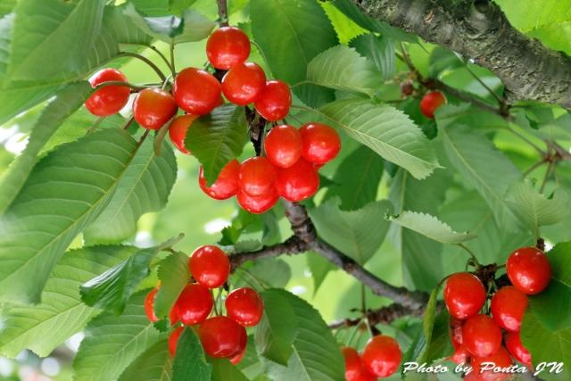 cherry18-001.jpg