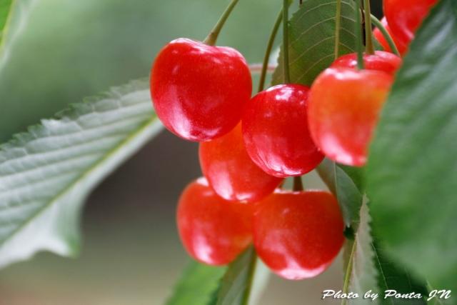 cherry18-002.jpg