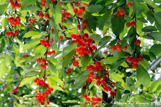 cherry18-007.jpg