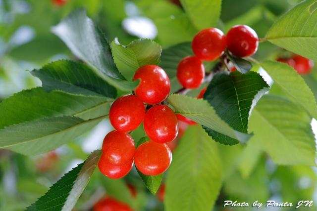 cherry18-008.jpg