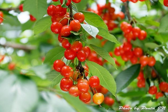 cherry18-010.jpg