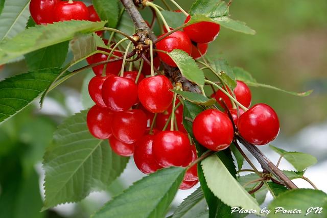 cherry18-012.jpg