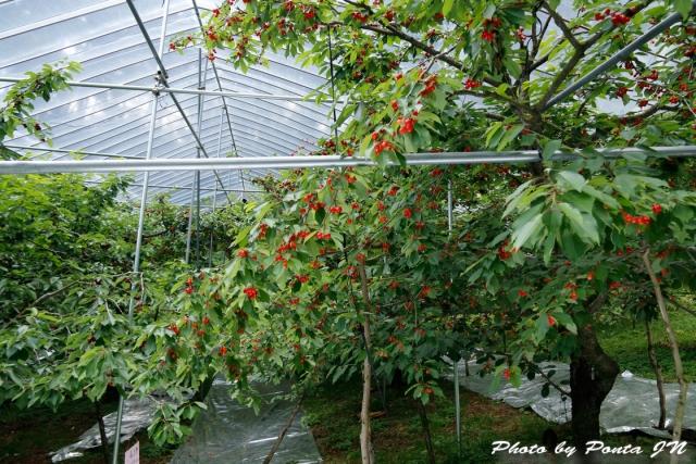 cherry18-013.jpg
