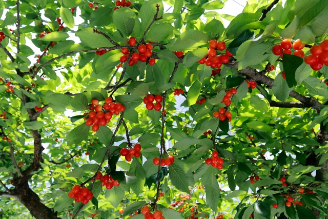 cherry18-020.jpg