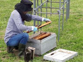 【写真】分蜂したミツバチたちを養蜂家の女性が巣箱に入れている様子