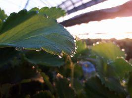 【写真】朝日に照らされて光るいちごの葉先の水玉