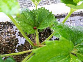 【写真】親苗の新葉にとまっているテントウムシ