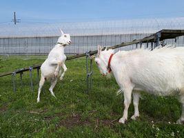 【写真】前足をあげて勝負を挑む子ヤギのポールと毛を逆立てて待ち構えるアラン