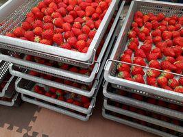 【写真】今シーズン最後の収穫となるいちごのケースが積まれているところ