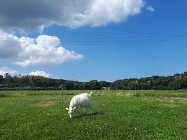 【写真】青い空と白い雲の下で緑の草を食べるアラン
