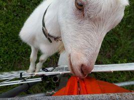 【写真】甘えて農園主の袖口を引っ張る子ヤギのポール