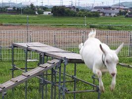 【写真】子ヤギのポールがのぼり台の上からジャンプして飛び降りるところ