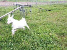【写真】子ヤギのポールがアラン・フィールド内を走り回る様子