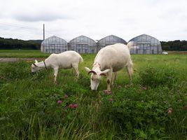 【写真】農園北側駐車場近くのアカツメクサを食べるアランとポール