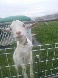 【写真】甘えた表情でこちらを見つめる子ヤギのポール